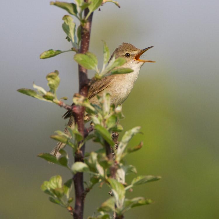 Struikrietzanger – Blyth's Reed Warbler