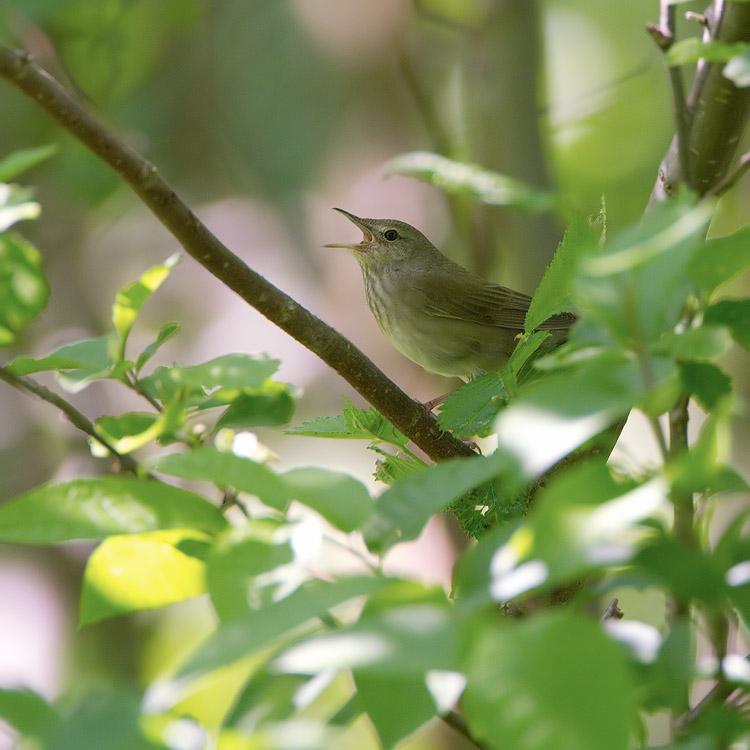 Krekelzanger – River Warbler