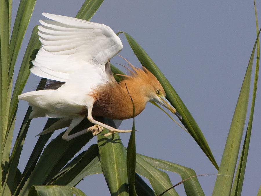 Javaanse ralreiger – Javan Pond Heron