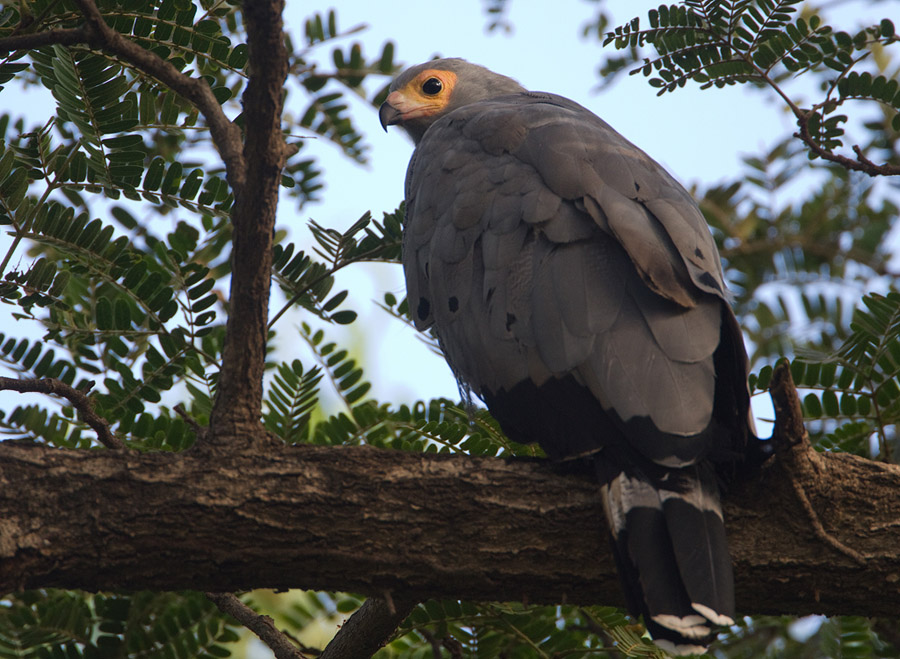 Kaalkopkiekendief – African Harrier-Hawk