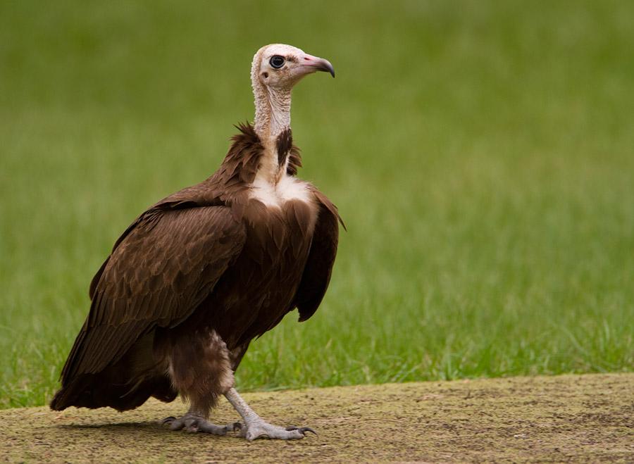 Kapgier – Hooded Vulture