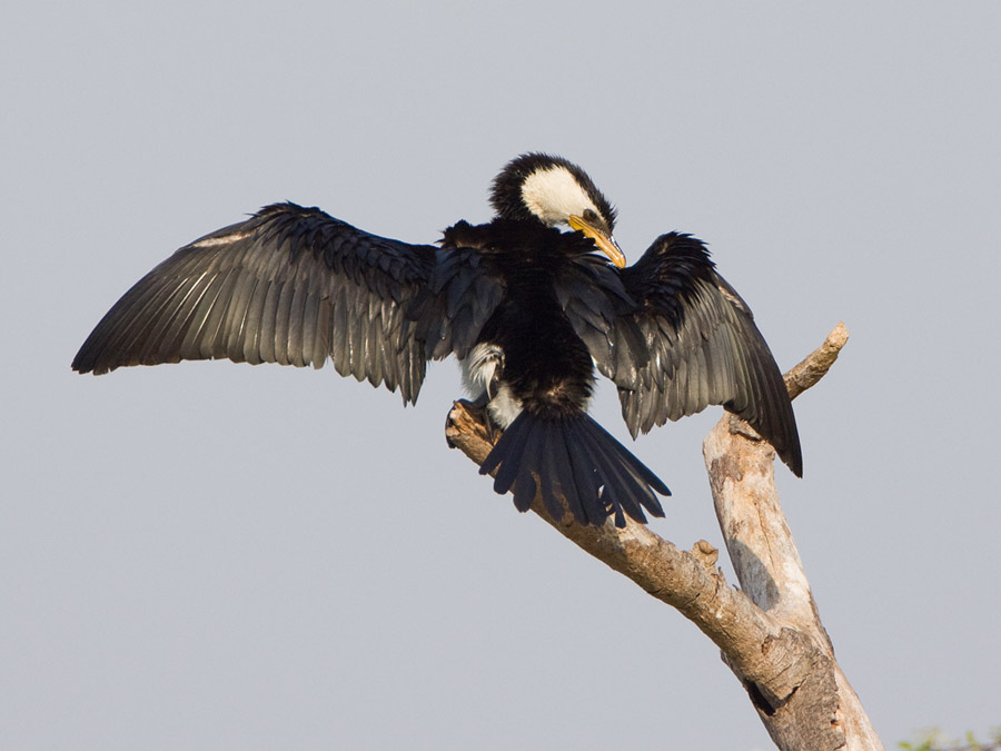 Kleine bonte aalscholver – Little Pied Cormorant