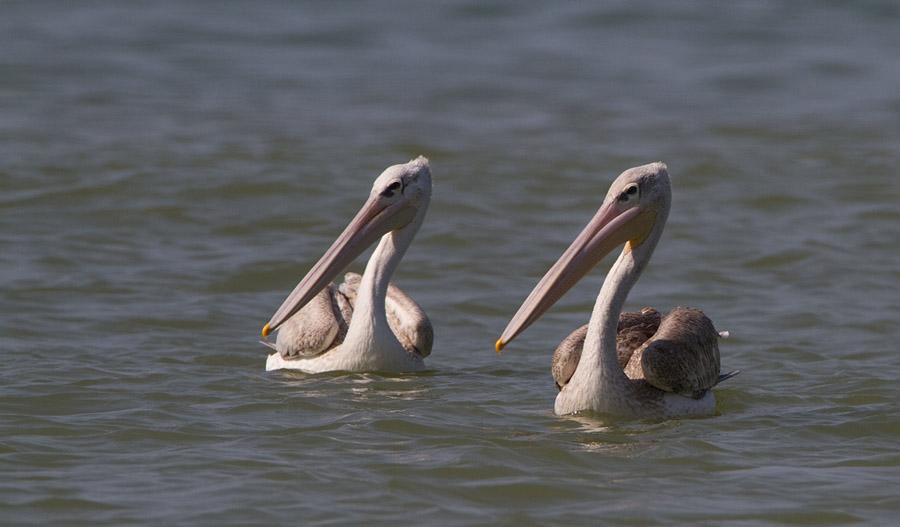 Kleine Pelikaan – Pink-backed Pelican