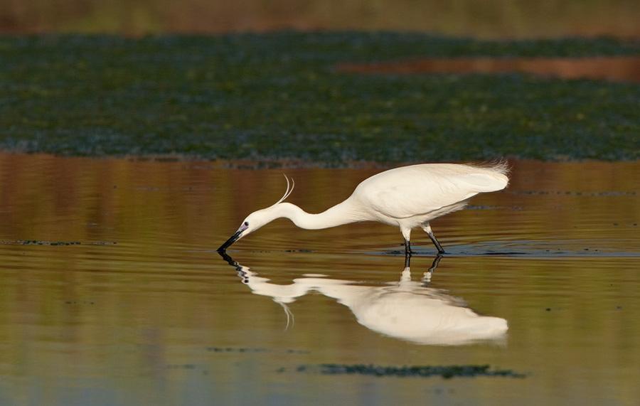 Kleine zilverreiger – Little Egret