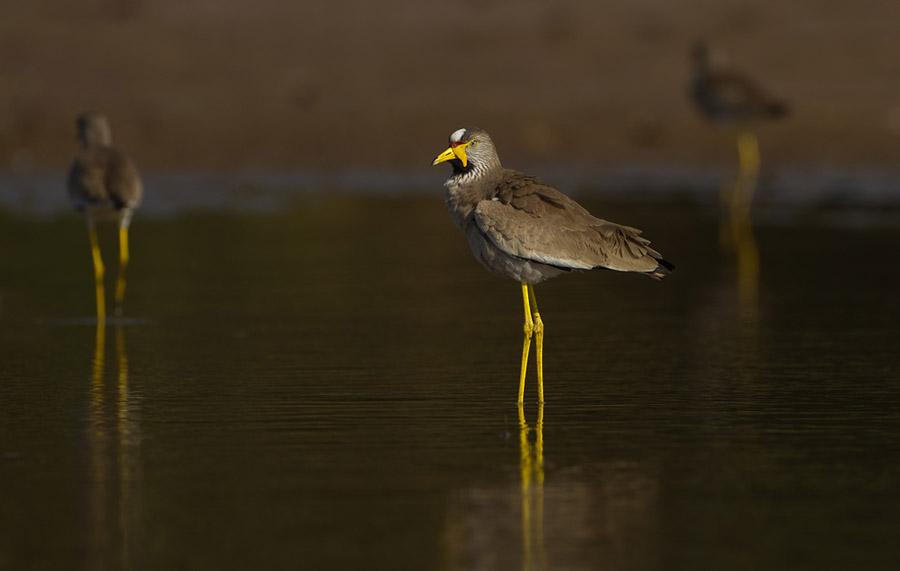 Lelkievit – African Wattled Lapwing