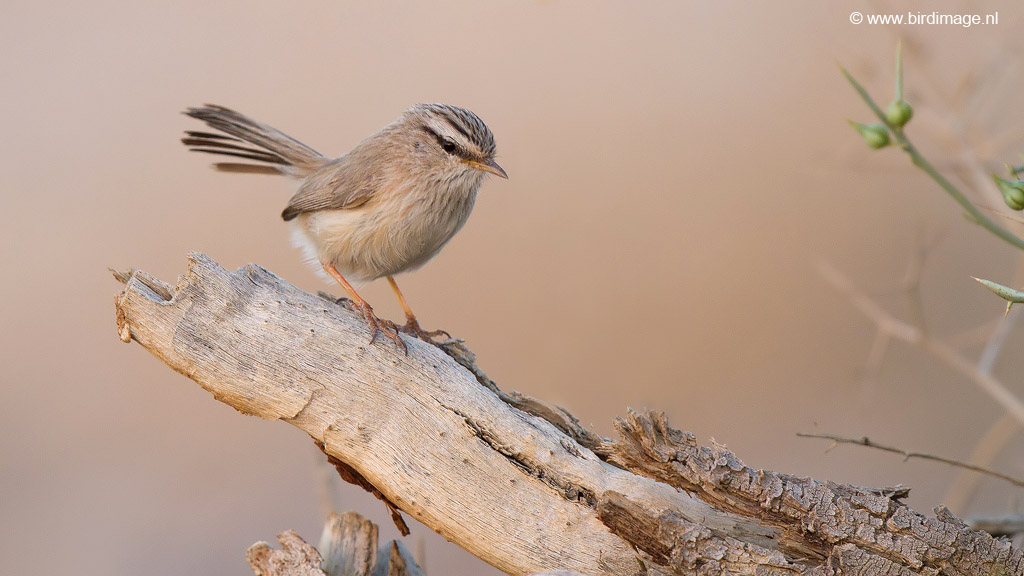 Maquiszanger – Streaked Scrub Warbler