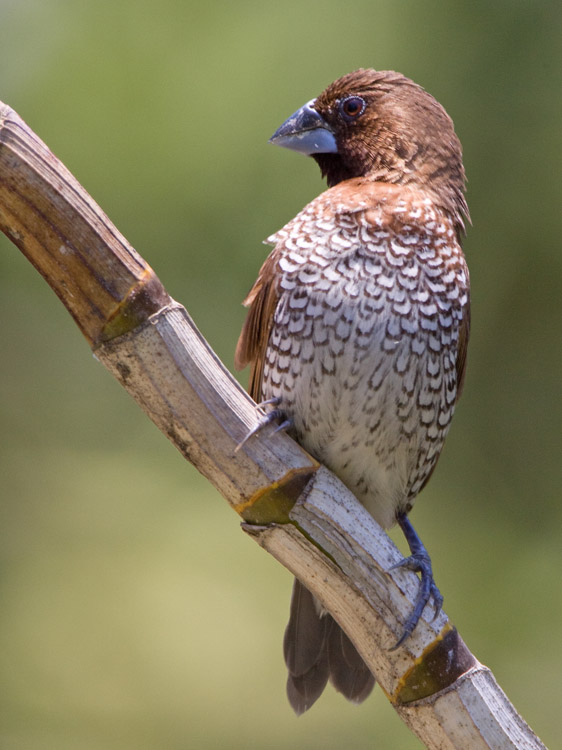 Muskaatvink – Scaly-breasted Munia