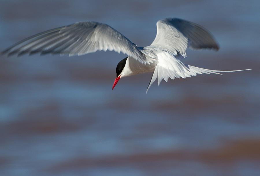 Noordse stern – Arctic Tern