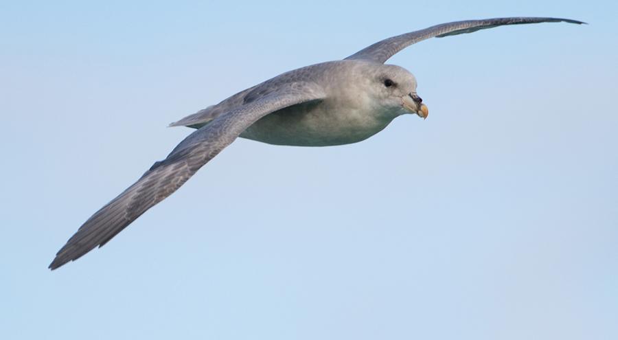 Noordse stormvogel – Northern Fulmar