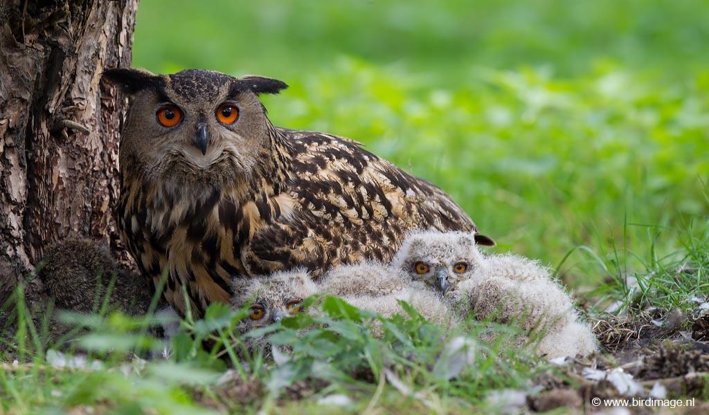 Oehoe – Eurasian Eagle-Owl