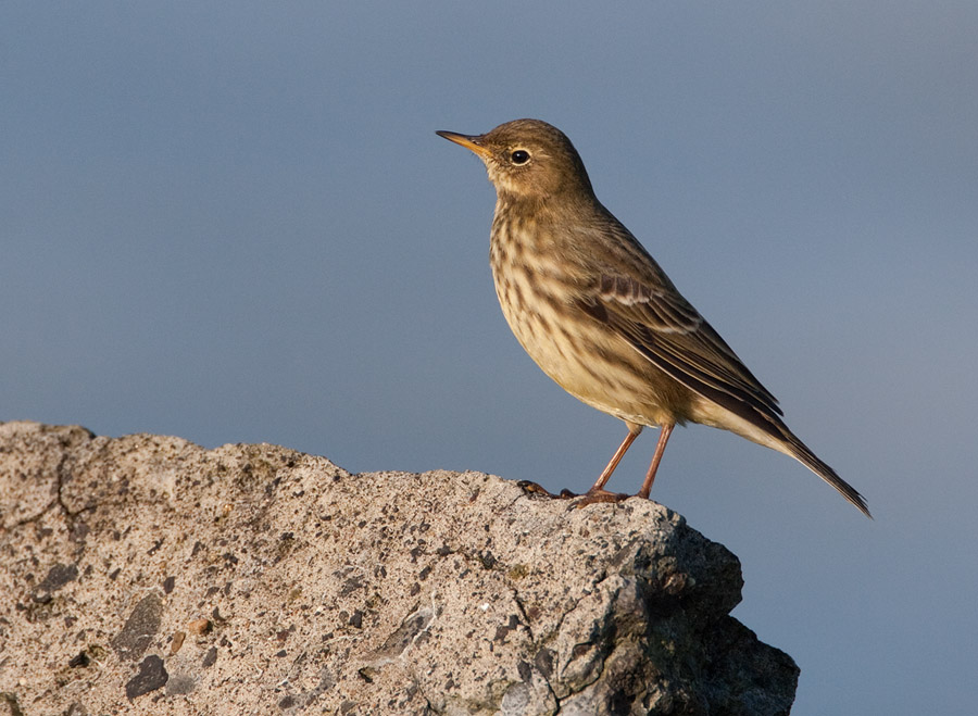 Oeverpieper – Rock Pipit