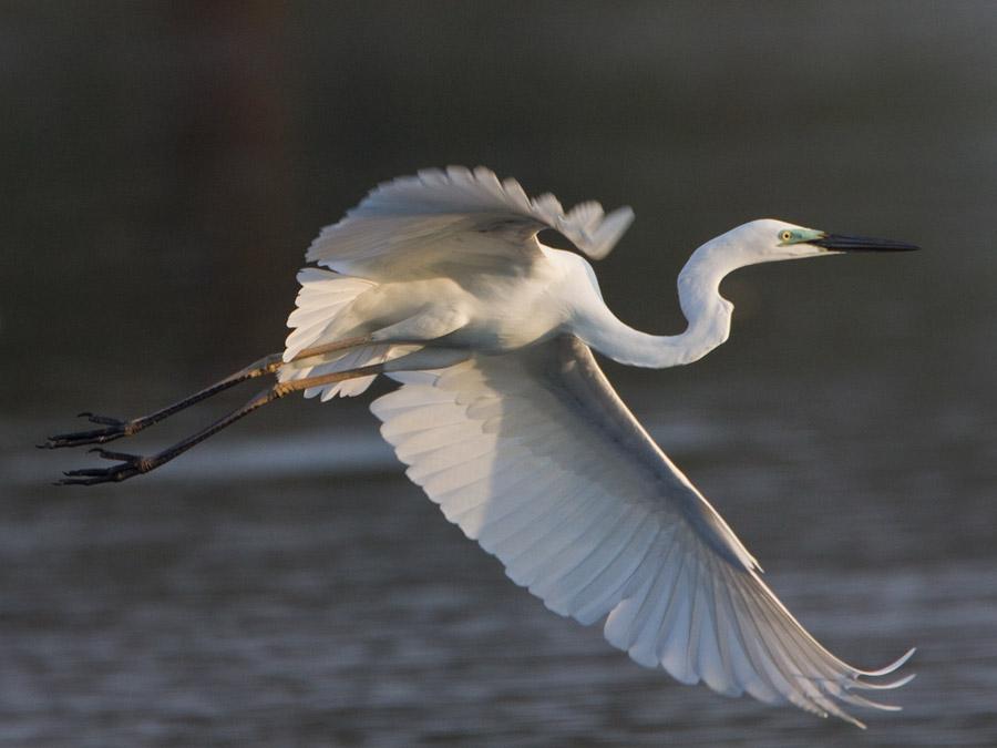 Oostelijke grote zilverreiger – Eastern Great Egret