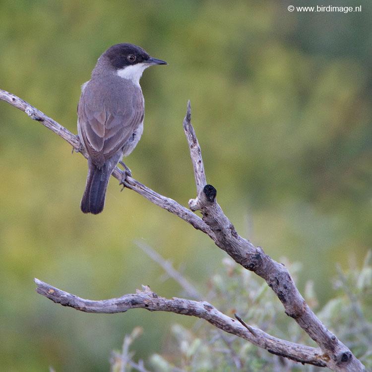Oostelijke Orpheusgrasmus – Eastern Orphean Warbler