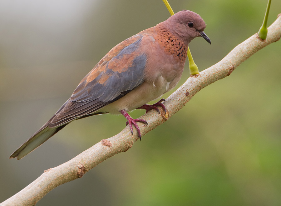 Palmtortel – Laughing Dove