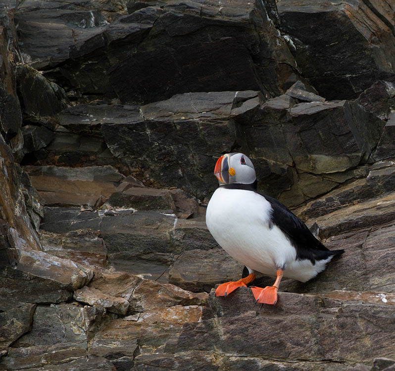 Papegaaiduiker – Atlantic Puffin