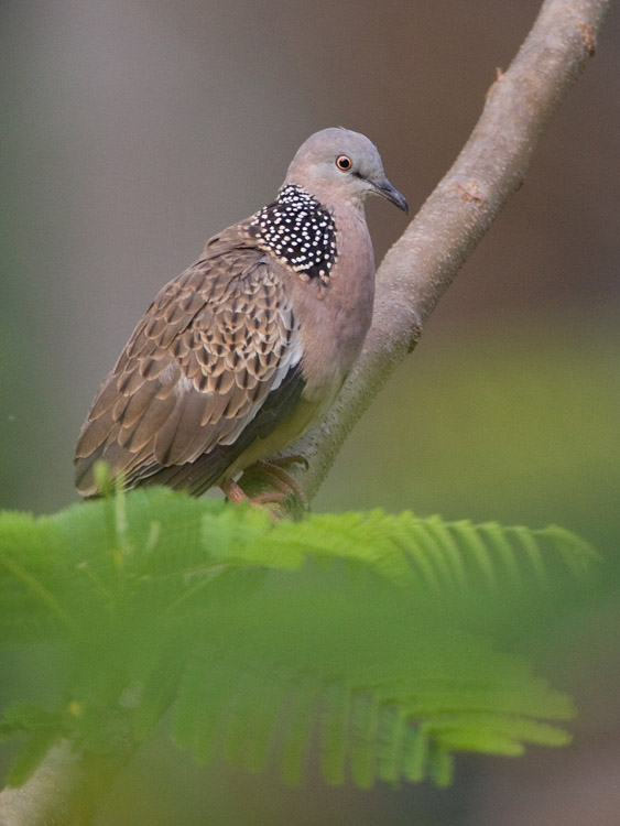 Parelhalstortel – Spotted Dove