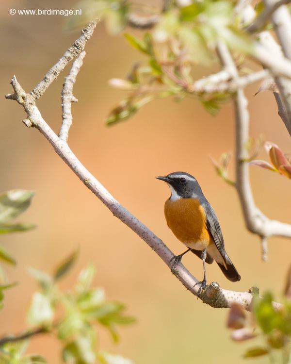 Perzische roodborst – White-throated Robin
