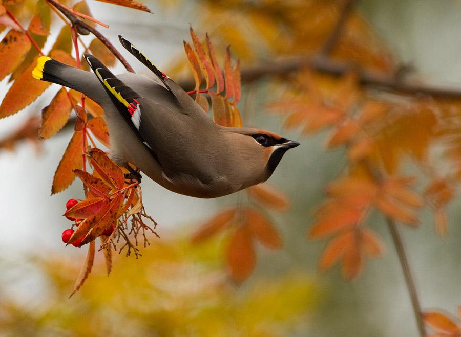 Pestvogel – Bohemian Waxwing