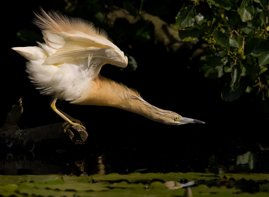 Ralreiger – Squacco Heron