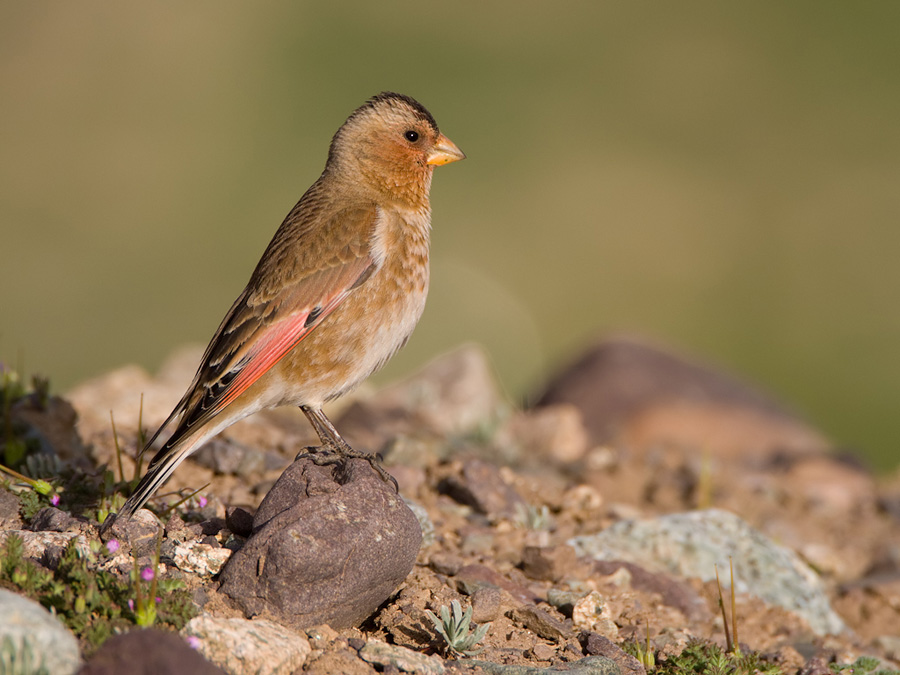 Rode woestijnvink – Crimson-winged Finch