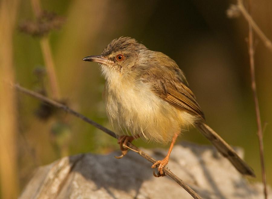 Roestflankprinia – Tawny-flanked Prinia