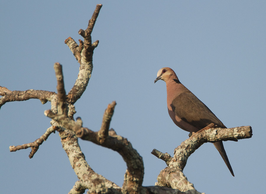 Roodoogtortel – Red-eyed Dove