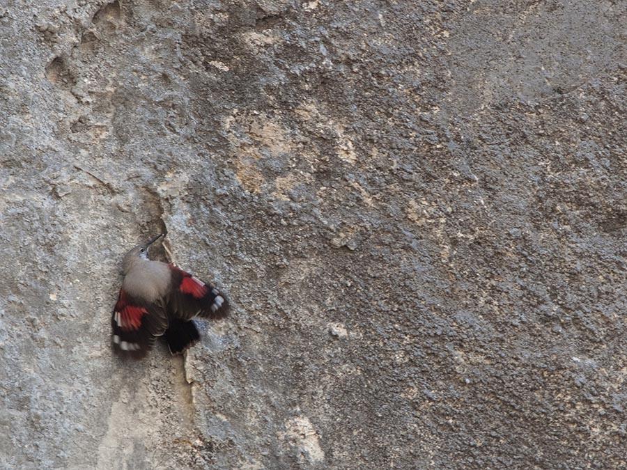 Rotskruiper – Wallcreeper
