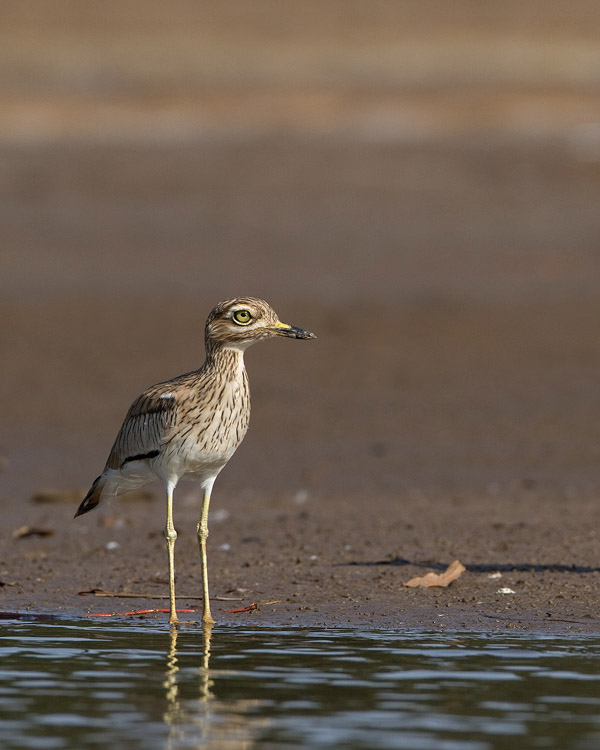 Senegalese Griel – Senegal Thick-knee