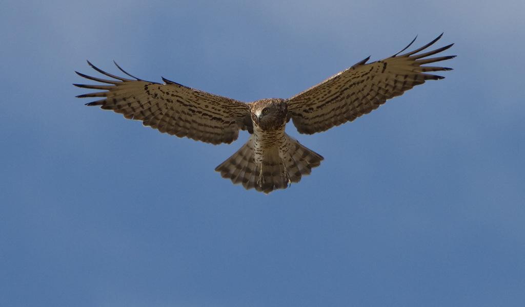 Slangenarend – Short-toed Eagle