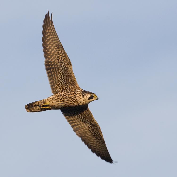Slechtvalk – Peregrine Falcon