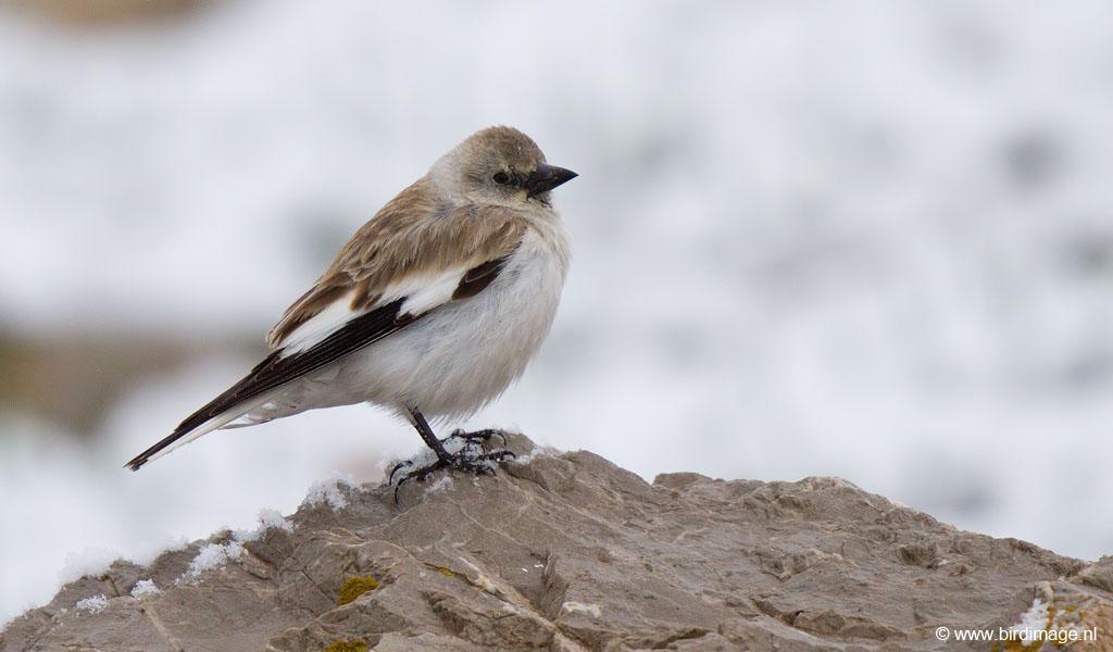 Sneeuwvink – Snowfinch