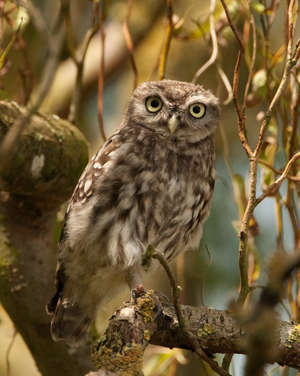 Steenuil – Little Owl