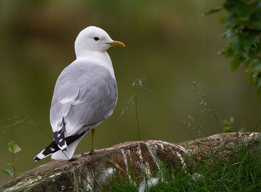 Stormmeeuw – Common Gull