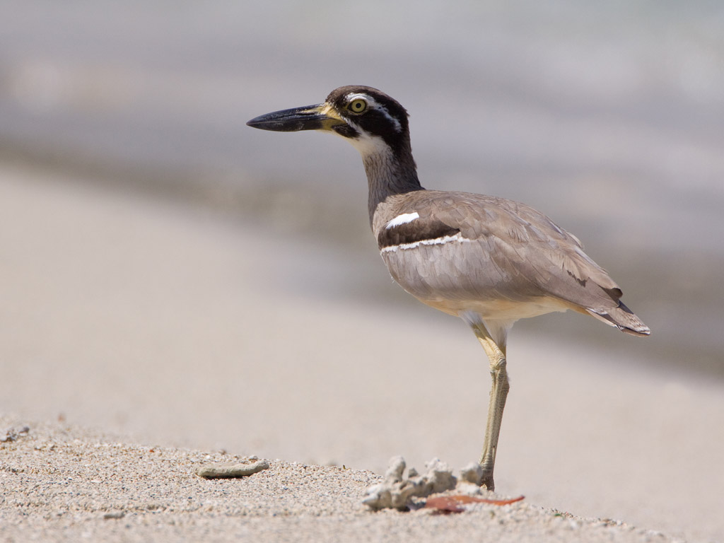 Rifgriel – Beach Thick-knee