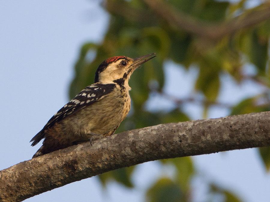 Vaalborstspecht – Fulvous-breasted Woodpecker
