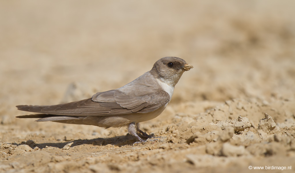 Vale Rotszwaluw – Pale Crag Martin
