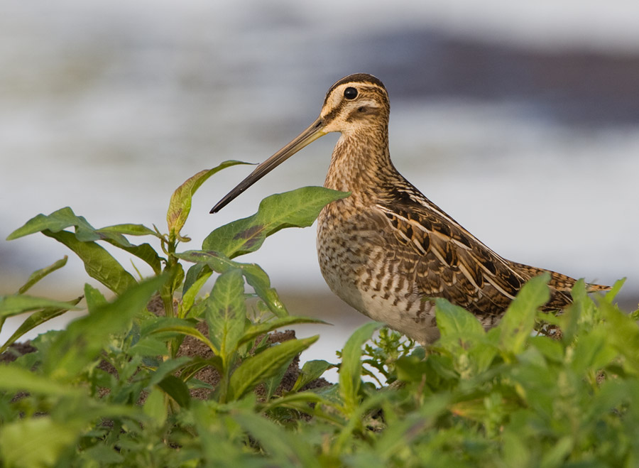 Watersnip – Snipe