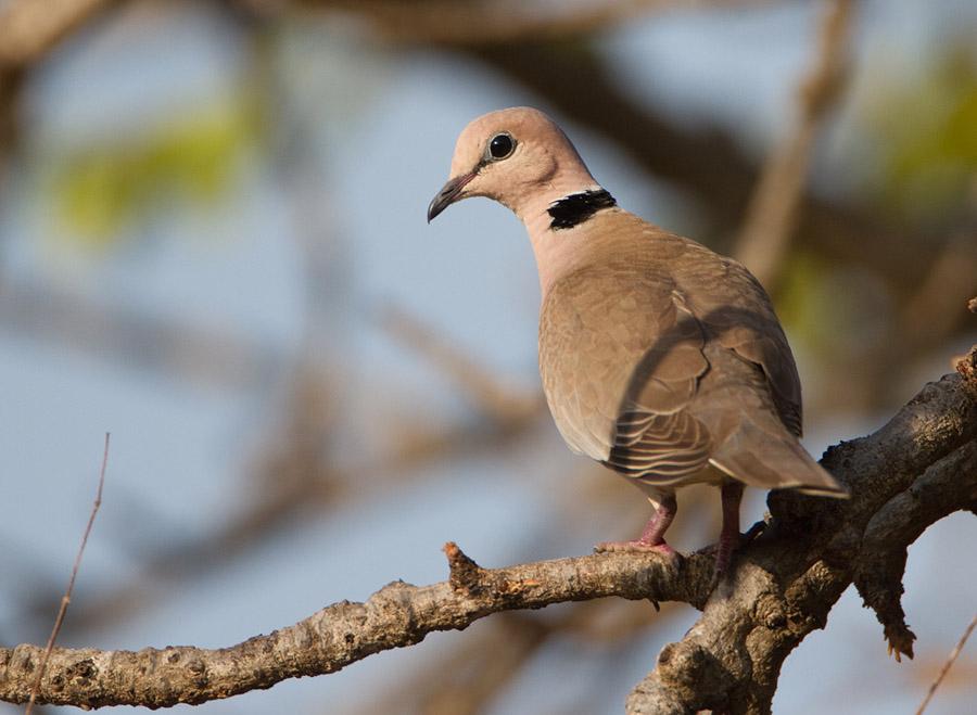 Wijntortel – Vinaceous Dove