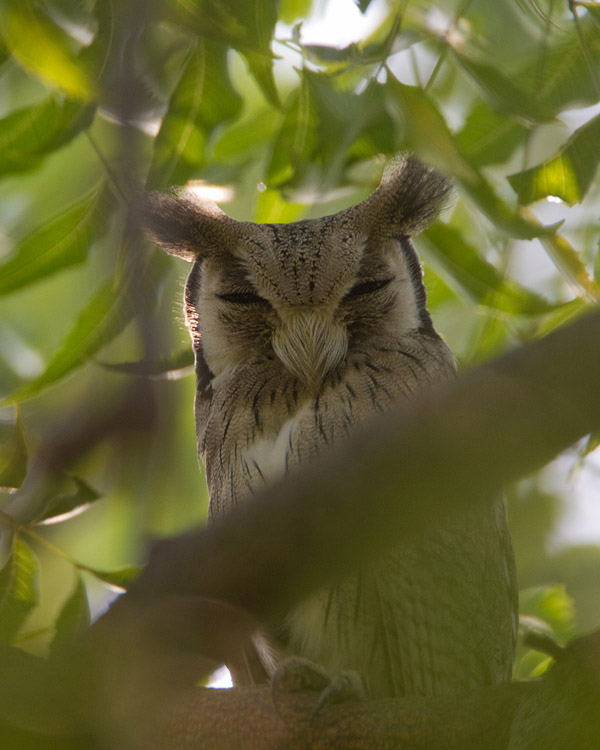 Noordelijke Witwangdwergooruil – Northern White-faced Owl