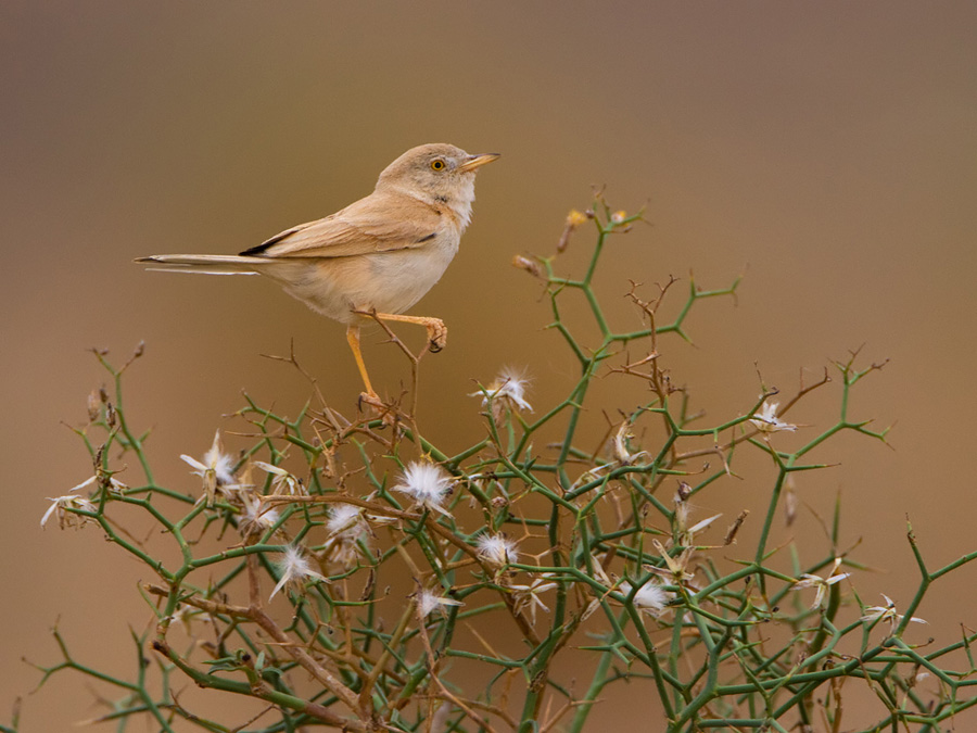 Atlasgrasmus – Afrikaanse Woestijngrasmus – Desert Warbler