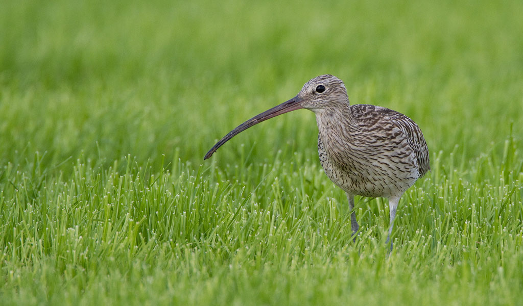 Wulp – Curlew