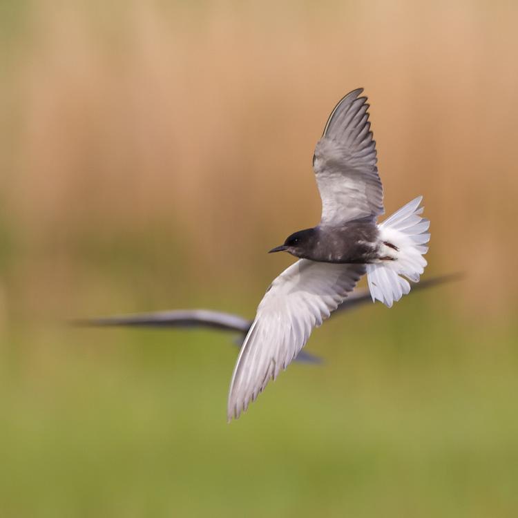 Zwarte stern – Black Tern