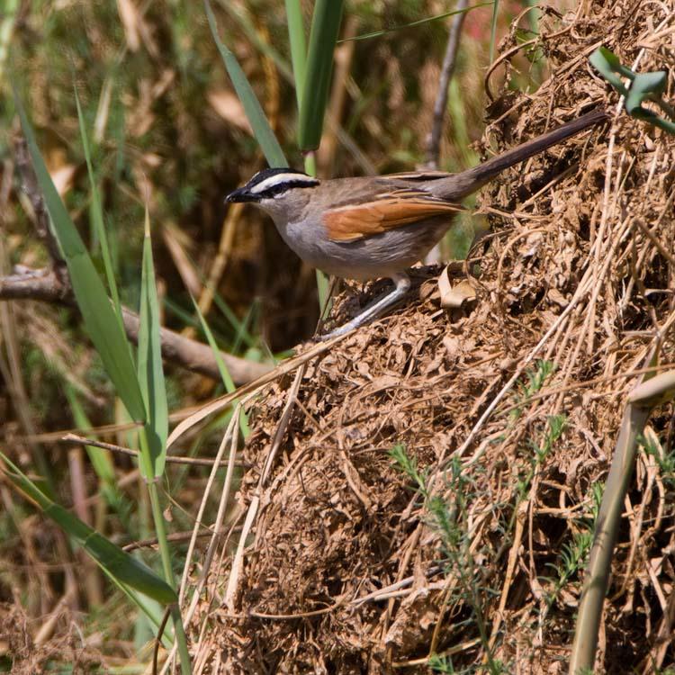 Zwartkruintchagra – Black-crowned Tchagra