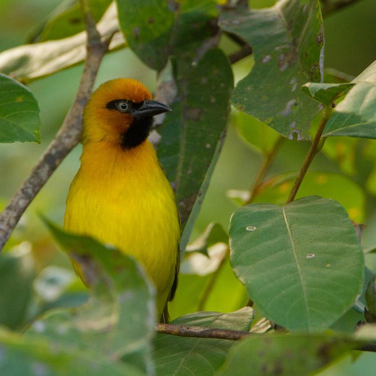 Zwartnekwever – Black-necked Weaver