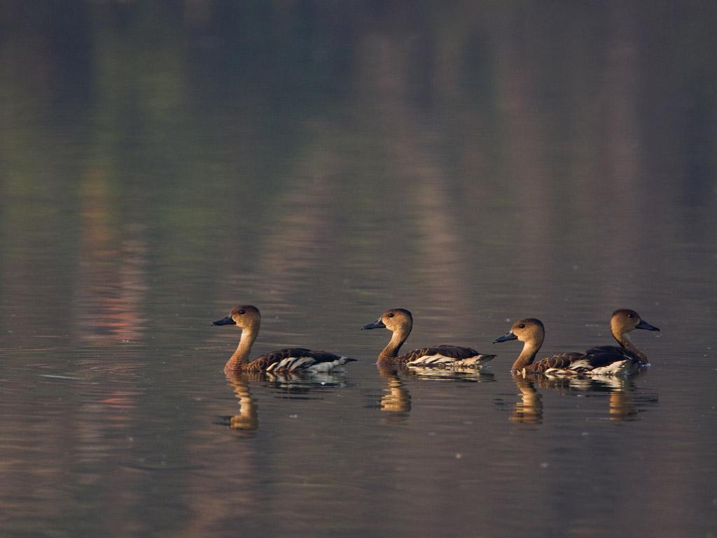 Zwervende fluiteend – Wandering Whistling Duck