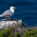 Geelpootmeeuw-Yellow-legged-Gull-06