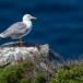 Geelpootmeeuw-Yellow-legged-Gull-06