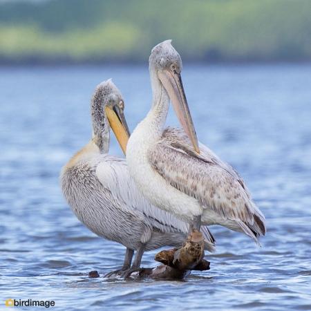 Kroeskoppelikaan - Dalmatian Pelican 05