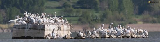 Kroeskoppelikaan - Dalmatian Pelican 08