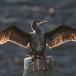 aalscholver-cormorant-02